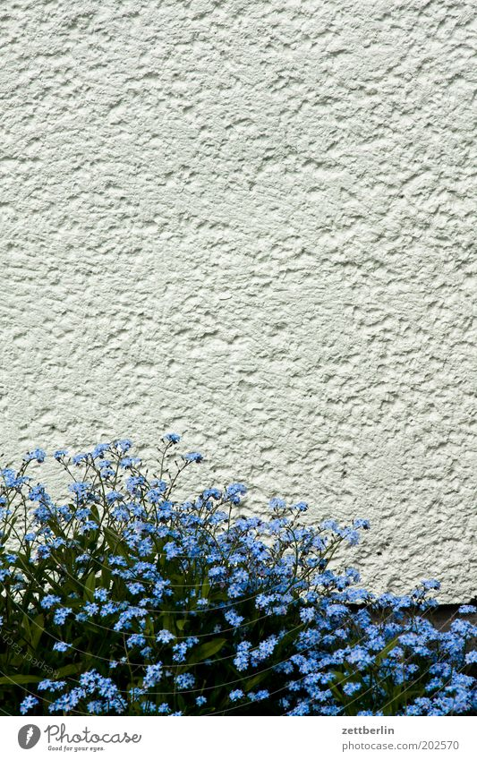 White Flower Blue Wall (building) Blossom Spring Wall (barrier) Romance Blossoming Plaster Herbaceous plants Forget-me-not Spring flowering plant