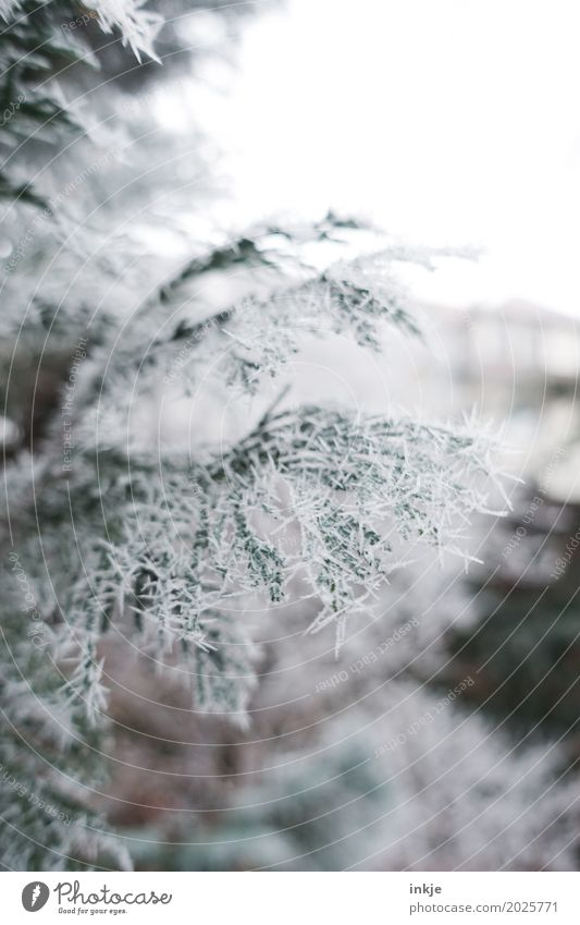 stinging cold Environment Nature Winter Climate Weather Ice Frost Twig Fir branch Coniferous trees Garden Park Icicle Cold Frozen Winter mood Colour photo
