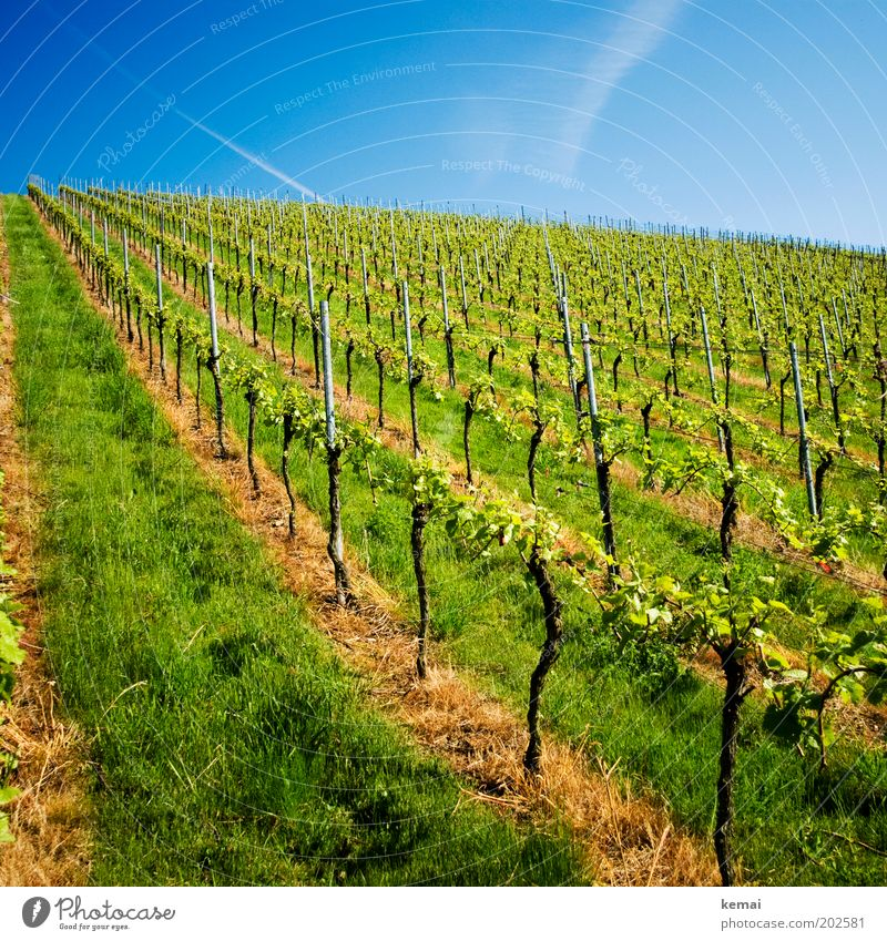 core Environment Nature Landscape Sky Sunlight Spring Summer Climate Beautiful weather Warmth Plant Grass Foliage plant Agricultural crop Vineyard Growth New