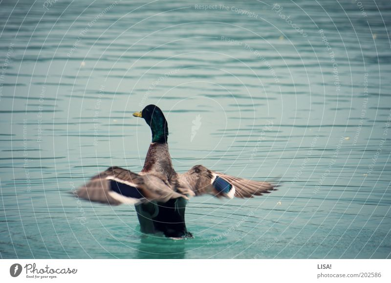 Water White Blue Black Animal Gray Lake Brown Bird Esthetic Wing Swimming & Bathing Wild animal Elements Duck