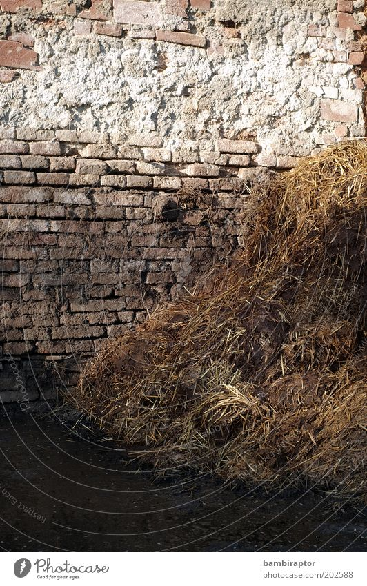 gold deposit Wall (barrier) Wall (building) Dirty Natural Manure heap Feces Brick Smelly Straw Colour photo Exterior shot Copy Space top Light Sunlight Day