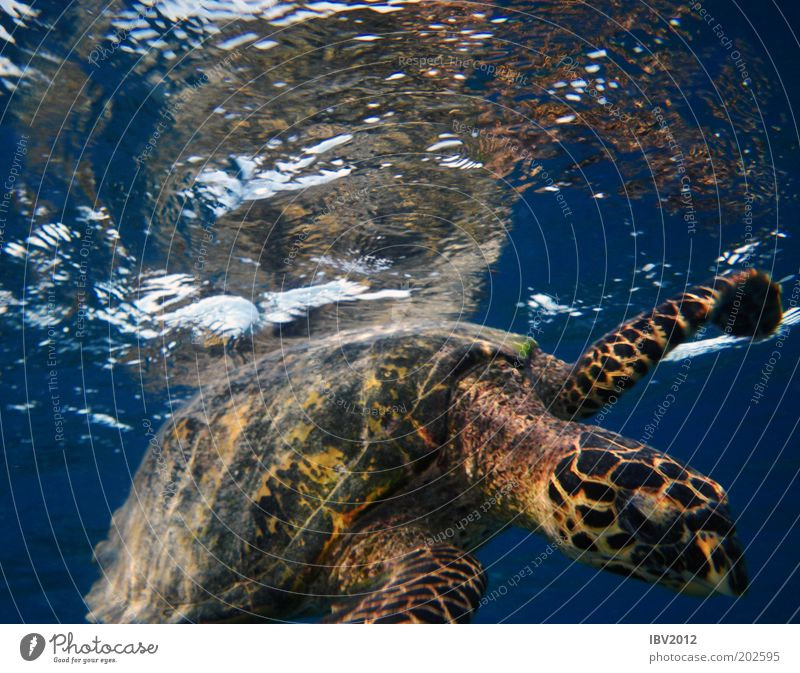 Hello, neighbor... Vacation & Travel Freedom Ocean Water Turtle Idyll Maldives Asia Underwater photo Colour photo Turles Swimming & Bathing