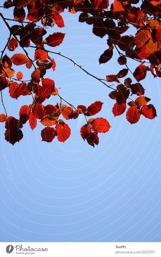 red hazel leaves Sky Blue Blue sky Cloudless sky Hazelnut leaf Red Blue background Hazelnut leaves Beautiful weather naturally Sky blue Twig X-rayed Plant