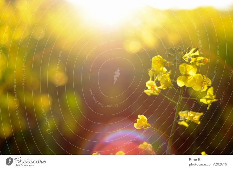 Rapeseed in backlighting Environment Nature Spring Agricultural crop Canola Canola field Oilseed rape cultivation Field Blossoming Illuminate Sustainability