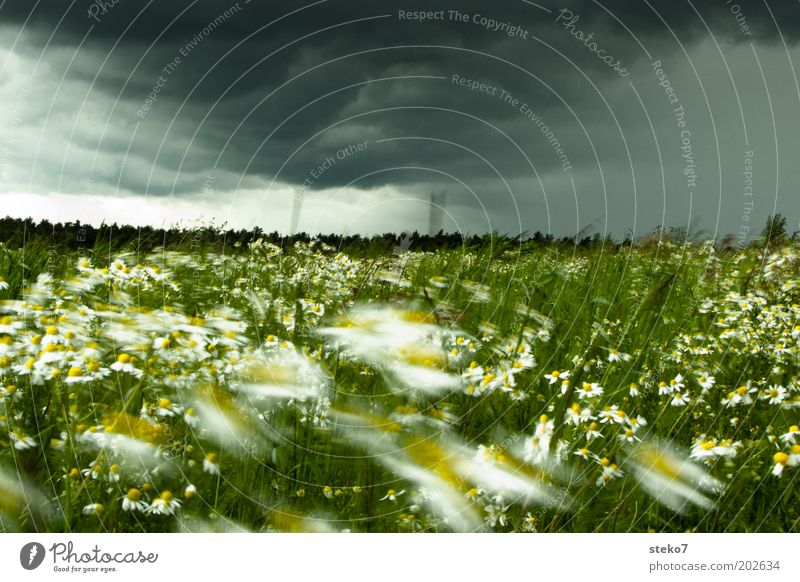 flower storm Landscape Plant Storm clouds Flower Grass Meadow Blossoming Threat Fresh Yellow Green Chamomile Intensive Storm front Wind Change in the weather