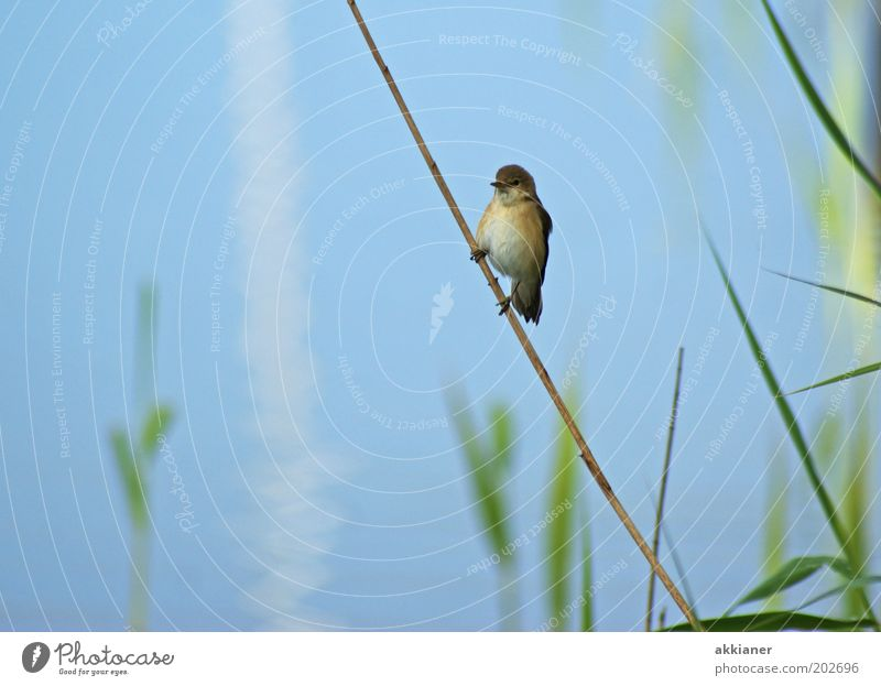 (Ice)Bird on a stick! Environment Nature Plant Animal Coast Lakeside Wild animal Sit Bright Blue Brown Green Common Reed Sparrow Colour photo Multicoloured