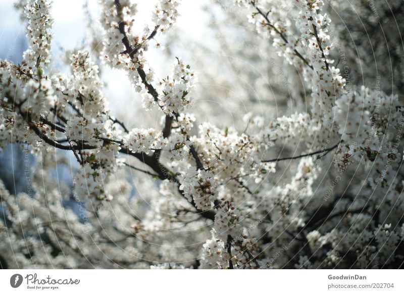 Nature Beautiful Sky White Tree Blue Plant Blossom Warmth Air Weather Environment Esthetic Blossoming Illuminate Breathe
