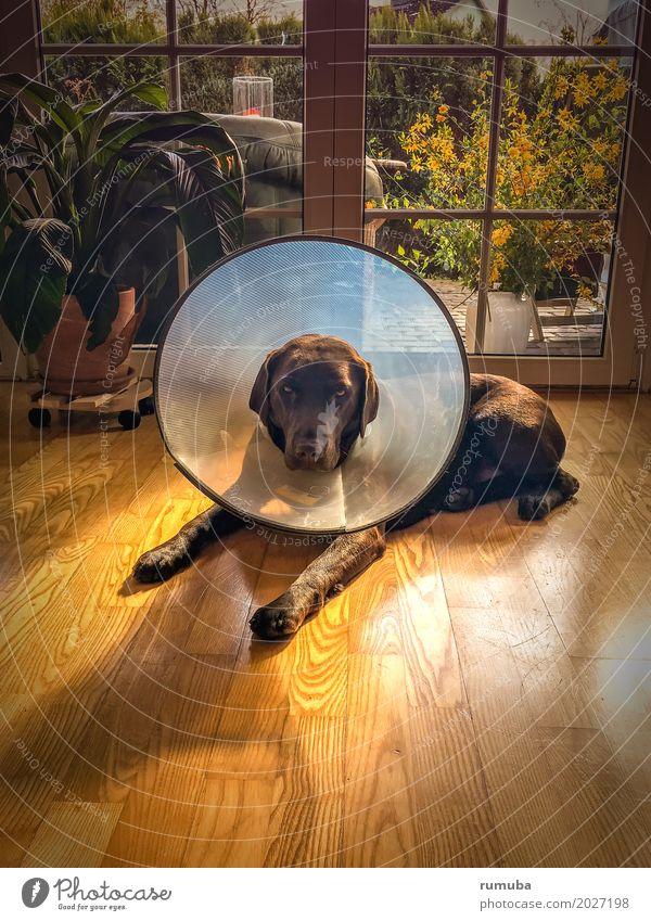Dog Relaxation Animal Brown Lie Protection Illness Trust Pelt Pet Living room Considerate Parquet floor Love of animals Labrador Bravery
