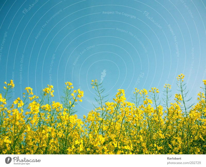 rapsody. in blue. Organic produce Healthy Summer Economy Environment Nature Sky Cloudless sky Spring Plant Agricultural crop Canola Canola field