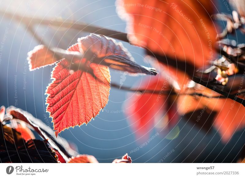 Spring Funzel I Nature Plant Sunlight Beautiful weather Bushes Leaf Agricultural crop Hazelnut leaf Thin Blue Brown Multicoloured Red Moody Spring fever Auburn