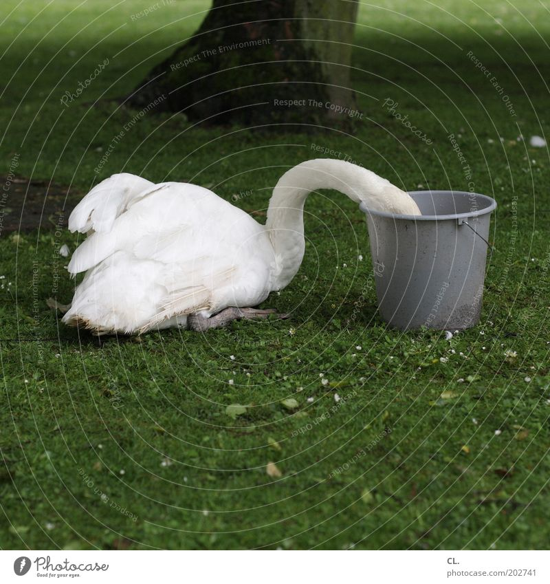 swan in a bucket Nature Tree Grass Park Meadow Animal Wild animal Swan Wing 1 To feed Feeding Funny Curiosity Appetite Voracious Lack of inhibition Whimsical