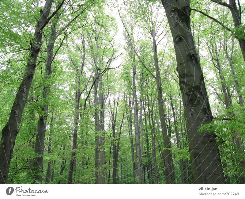 giant forest Nature Sky Summer Tree Forest Wood Brown Green Colour photo Exterior shot Deserted Day Worm's-eye view