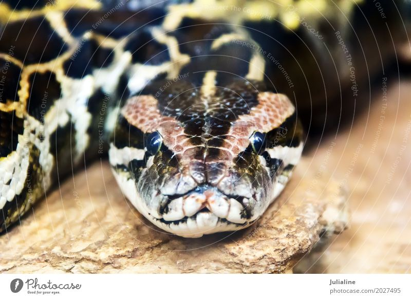 reticulated python head in full face Exotic Skin Zoo Animal Leather Snake 1 Protection boa wildlife Reptiles serpent Living thing reptilian Anacondas Zoology