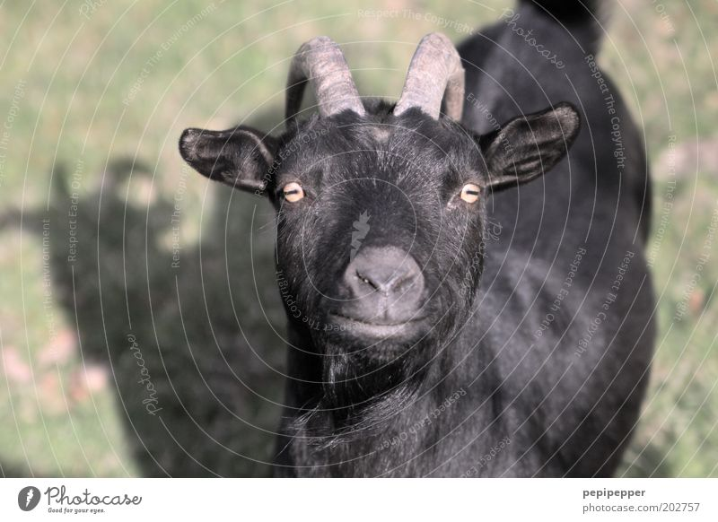Black Animal Meadow Animal face Pelt Zoo Goats Farm animal Central perspective Petting zoo