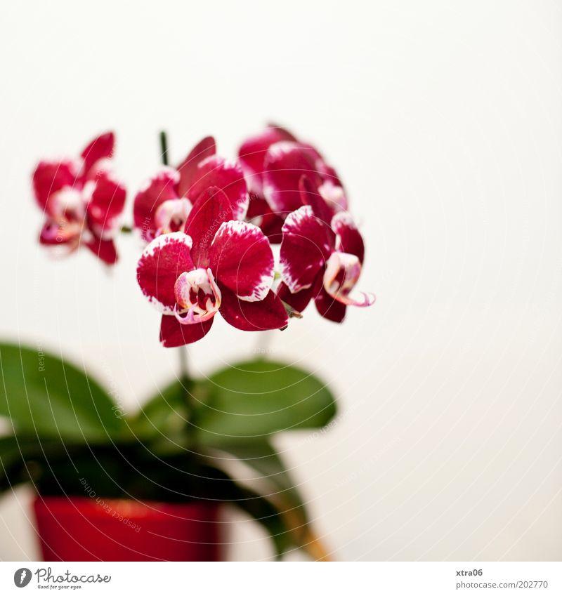 pot plant Plant Orchid Leaf Blossom Pot plant Beautiful Colour photo Interior shot Flowerpot Red Pink Copy Space right