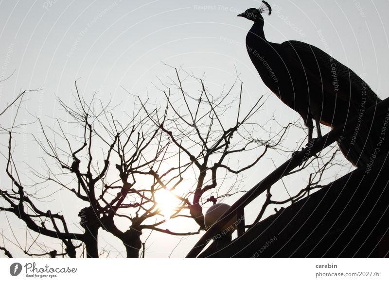 Evening sun Animal Bird Zoo Hope Nature Exterior shot Copy Space top Light Shadow Peacock Tree Leafless Sun Twilight