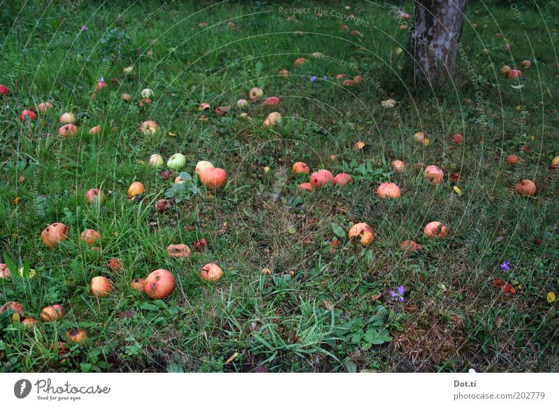 scattered fruit Fruit Nature Autumn Tree Grass Garden Meadow Green Fruit trees To fall Windfall Apple Apple tree Tree trunk Fruittree meadow Fruit garden