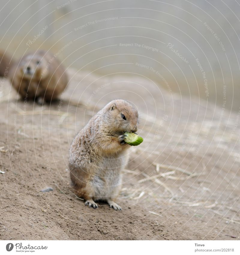 And every day the groundhog eats... Wild animal 2 Animal To hold on To feed Crouch Marmot Rodent Slices of cucumber Hill Nutrition Pelt Cute Small Claw
