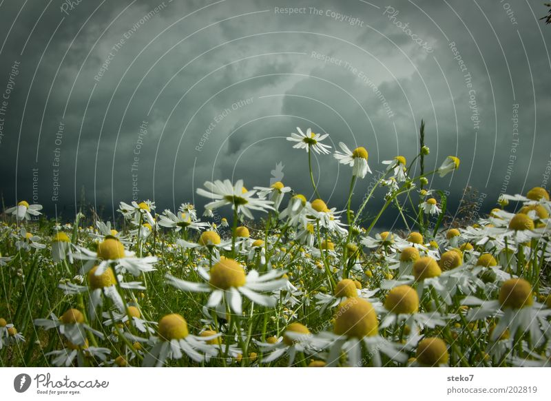 Calm before the flower storm Landscape Plant Storm clouds Spring Bad weather Meadow Blossoming Threat Dark Yellow Gray Green Intensive Camomile blossom Eerie