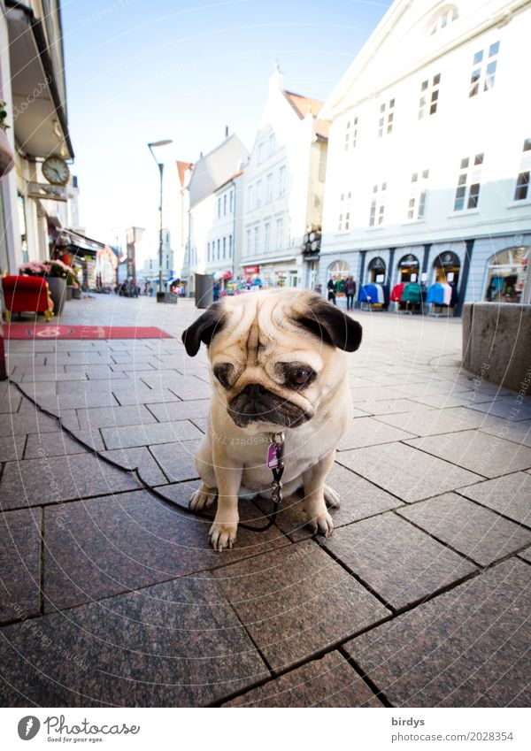 Sad Pug Lifestyle Shopping Sky Town Downtown Pedestrian precinct House (Residential Structure) Pet Dog 1 Animal Wait Authentic Cute Serene Boredom Sadness