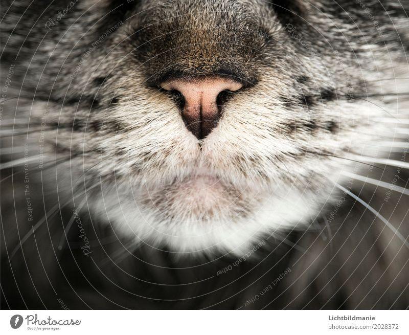 hunter Animal Pet Cat Animal face Pelt cat's mouth Snout Whisker Sense of touch Nose Tabby cat Tiger skin pattern coat structure Esthetic Gray Black White
