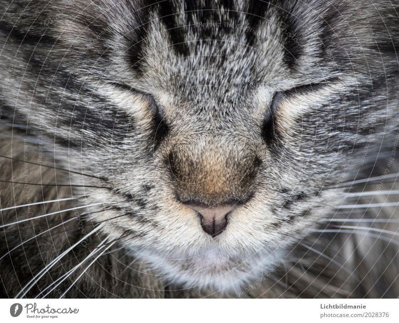 cat dream Animal Pet Cat Animal face Pelt Cat eyes Nose Eyes Whisker Tabby cat Tiger skin pattern cat's nose Head Cat's head Relaxation Sleep Dream Friendliness