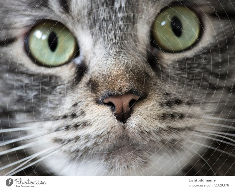 Sweet snout Animal Pet Cat Animal face Pelt Nose Muzzle Whisker Eyes Tiger skin pattern Norwegian Forest Cat cat's nose cat's mouth Breathe Observe Communicate
