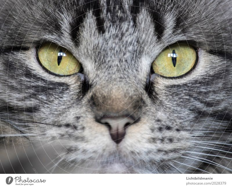in sight Animal Pet Cat Animal face Pelt Norwegian Forest Cat Cat eyes Eyes Nose Tabby cat Tiger skin pattern Whisker Observe Esthetic Beautiful Smart Gray