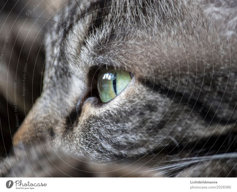 moment of rest Animal Pet Cat Animal face Pelt Cat eyes Tiger skin pattern Tabby cat Whisker Sense of touch Senses coat structure green eyes Contentment