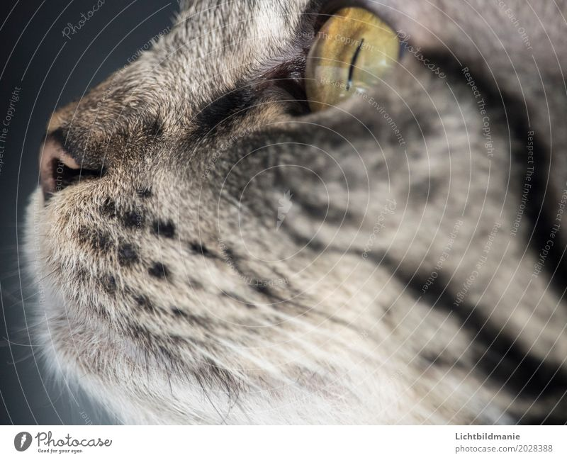 always following the nose Animal Pet Cat Animal face Cat eyes cat's nose cat's mouth Nose Muzzle Eyes Whisker 1 Observe Hunting Looking Playing Brash