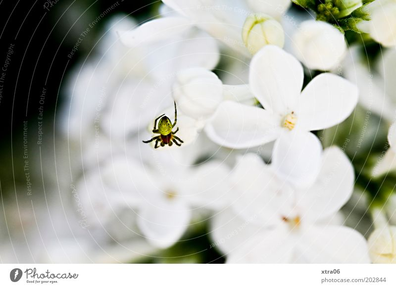 small spider Plant Authentic Spider Lilac Blossom White Colour photo Exterior shot Close-up Macro (Extreme close-up) Blossom leave Flowering plants