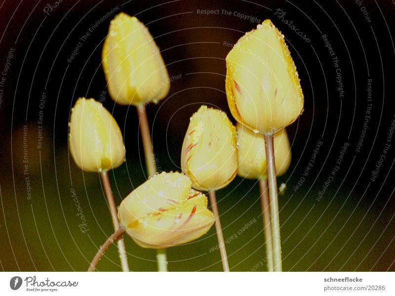Flower Yellow Blossom Multiple Tulip