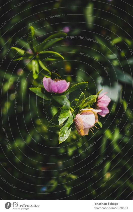 Pink flowers Environment Nature Spring Plant Flower Blossom Foliage plant Garden Park Esthetic Growth Blossoming Green Natural phenomenon Beginning New start