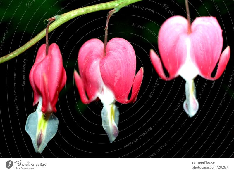 Watery Heart Bleeding heart Flower Blossom Pink maktro