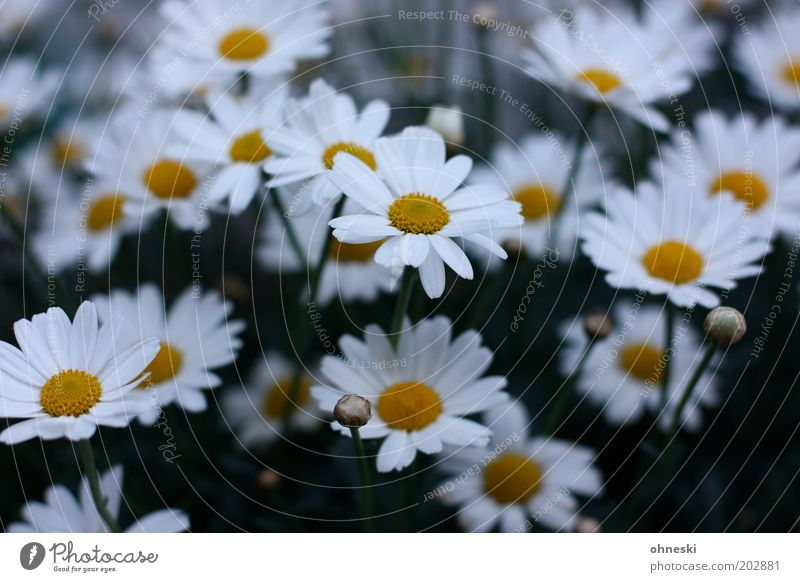 Have a nice Sunday Nature Plant Spring Flower Blossom Marguerite Garden Friendliness Fresh Happy Happiness Spring fever Anticipation Colour photo Exterior shot