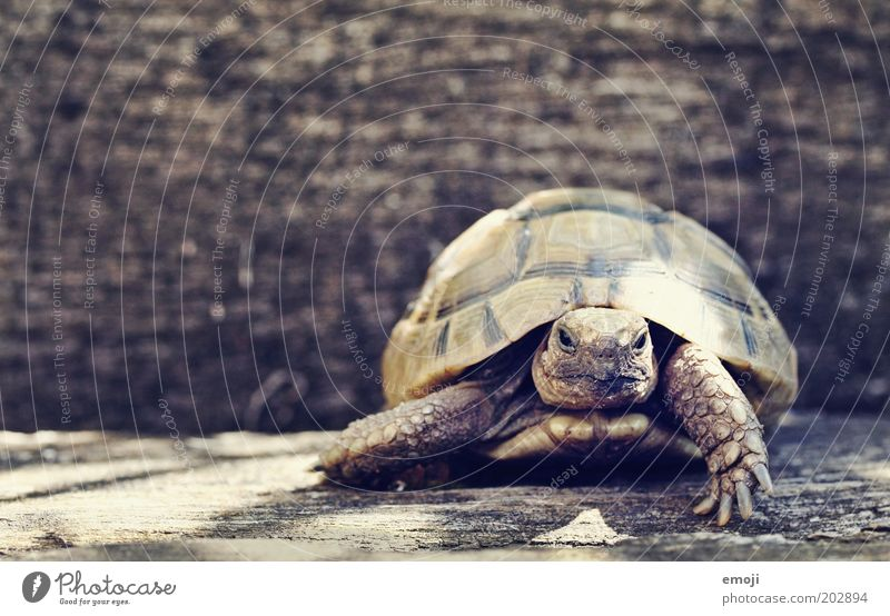 Ninja Turtle Animal Pet Wild animal Zoo 1 Going Wait Reptiles Shell Colour photo Exterior shot Copy Space left Copy Space top Day Animal portrait Front view