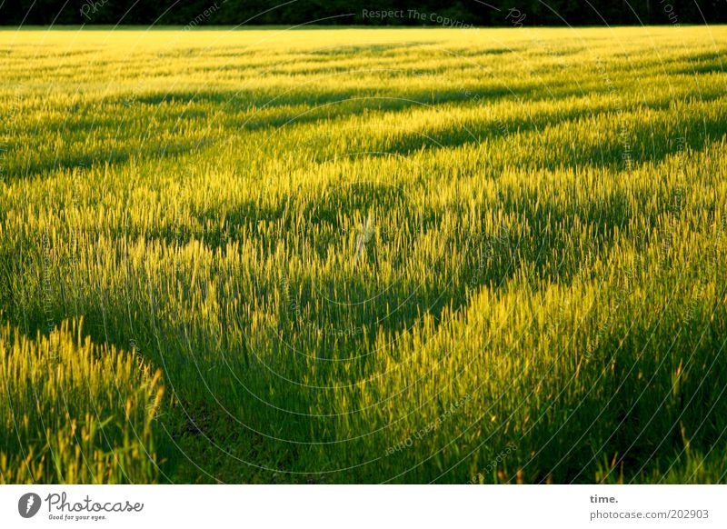 Time of maturity Field Evening sun Sun Grain Waves Edge of the forest Exterior shot Green Yellow Earthy Plant Fruit Agricultural crop Far-off places Food