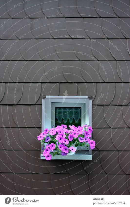 Pink Plants Flower Blossom Pot plant House (Residential Structure) Facade Window Window board shingle Petunia Colour photo Multicoloured Exterior shot