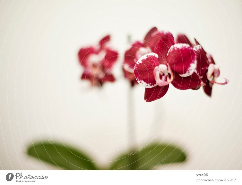 phalaenopsis Plant Orchid Blossom Pot plant Exotic Esthetic Elegant Colour photo Interior shot Copy Space left Neutral Background Shallow depth of field Pink