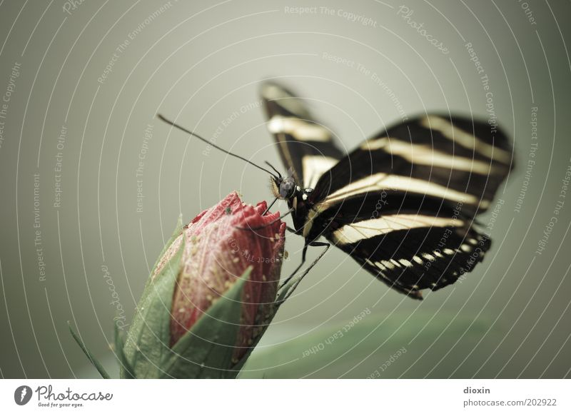 Butterfly´s Bellini Environment Nature Plant Animal Flower Blossom Bud Virgin forest Wing Compound eye Feeler Legs 1 To feed Exotic Beautiful Small Delicious