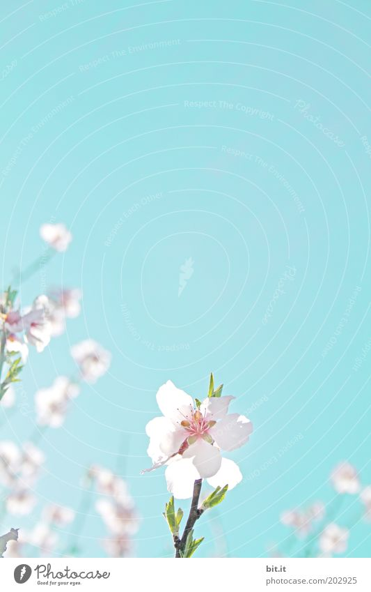 Sky Nature Plant Blue Blossom Spring Background picture Pink Growth Blossoming Kitsch Cloudless sky Fragrance Bud Ease Blossom leave