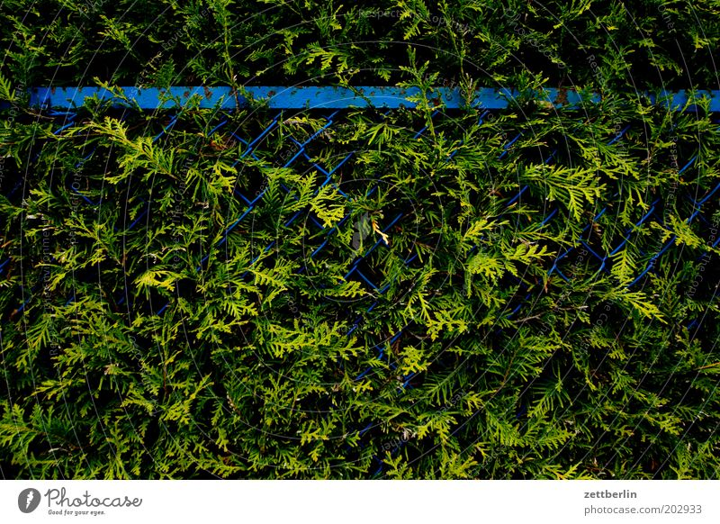 Blue Green Garden Closed Growth Fence Virgin forest Barrier Fern Hedge Tree Conifer Garden fence Wire netting Wire netting fence Thuja