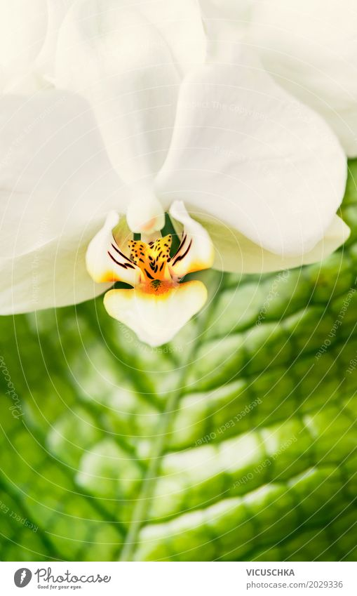 Close-up of white orchid Elegant Design Wellness Spa Leisure and hobbies Nature Plant Summer Flower Orchid Blossoming Yellow Style White Green Leaf Houseplant