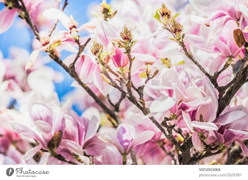 magnolia blossoms Design Garden Nature Plant Spring Beautiful weather Flower Bushes Leaf Blossom Park Blossoming Pink White Magnolia plants April May