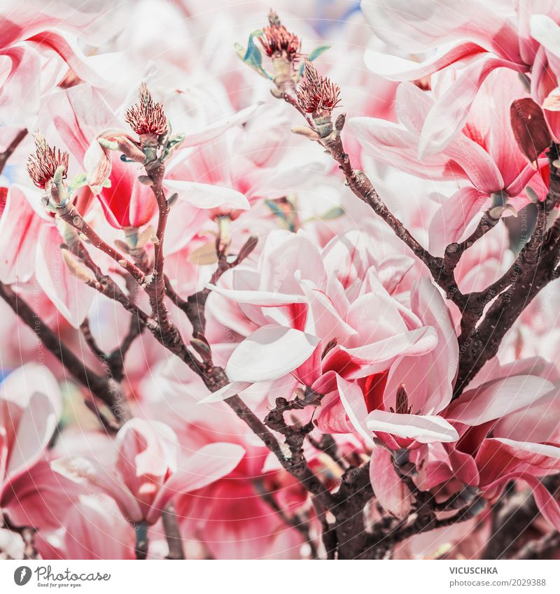 Red magnolia blossom on magnolia tree Design Garden Nature Plant Spring Bad weather Tree Flower Bushes Leaf Blossom Park Blossoming Pink Magnolia plants