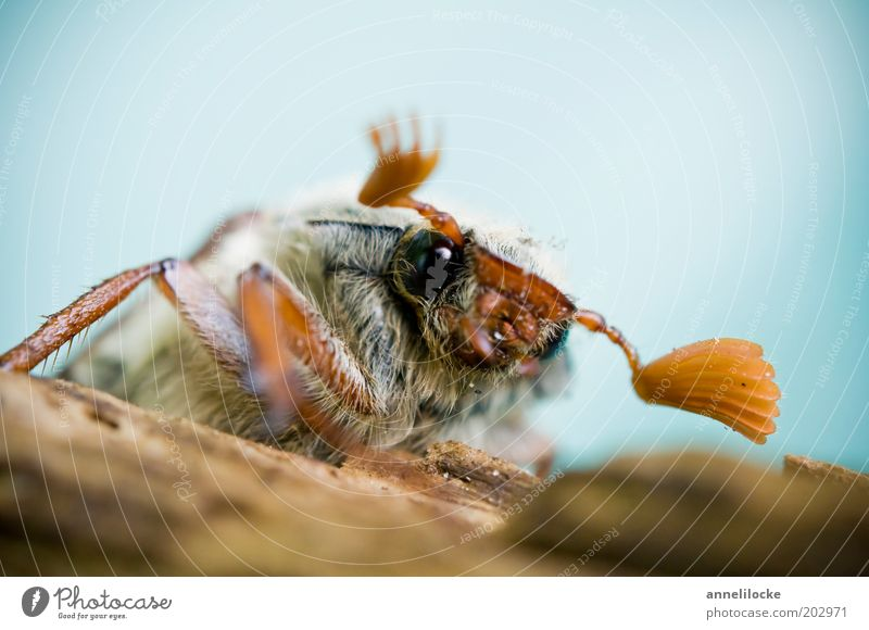 Nature Animal Eyes Spring Sit Cute Pelt Animal face Insect Beetle Crawl Feeler Compound eye May bug Bright background