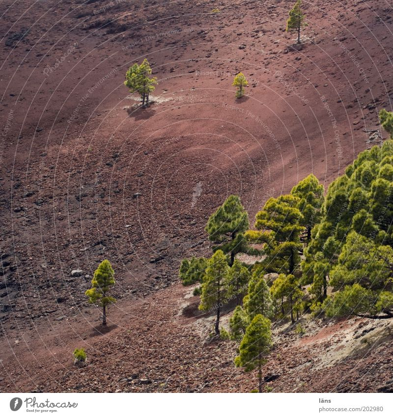 Nature Tree Landscape Environment Earth Exceptional Dry Elements Bleak Volcano Pine Canaries Spain Mountain Clump of trees Isolated