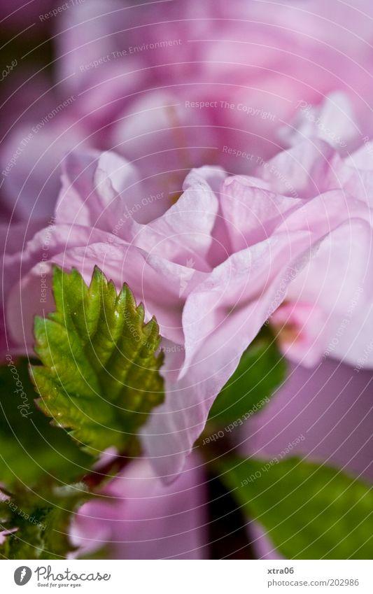 Nature Flower Green Plant Leaf Pink Bushes Blossom leave