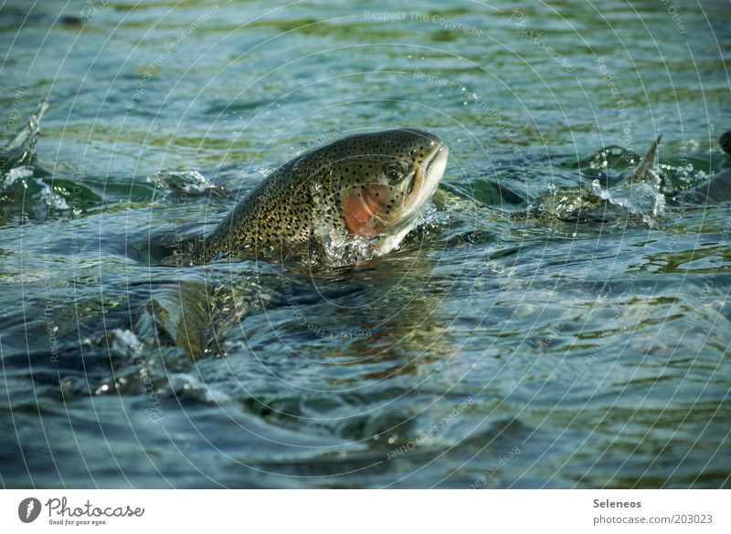 Nature Water Nutrition Animal Jump Movement Freedom Lake Waves Food Environment Drops of water Wet Speed Fish
