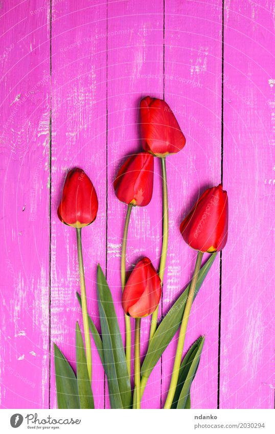 Five red tulips on a pink wooden surface Plant Beautiful Flower Red Leaf Pink Fresh Bouquet Bud Blossom leave Tulip